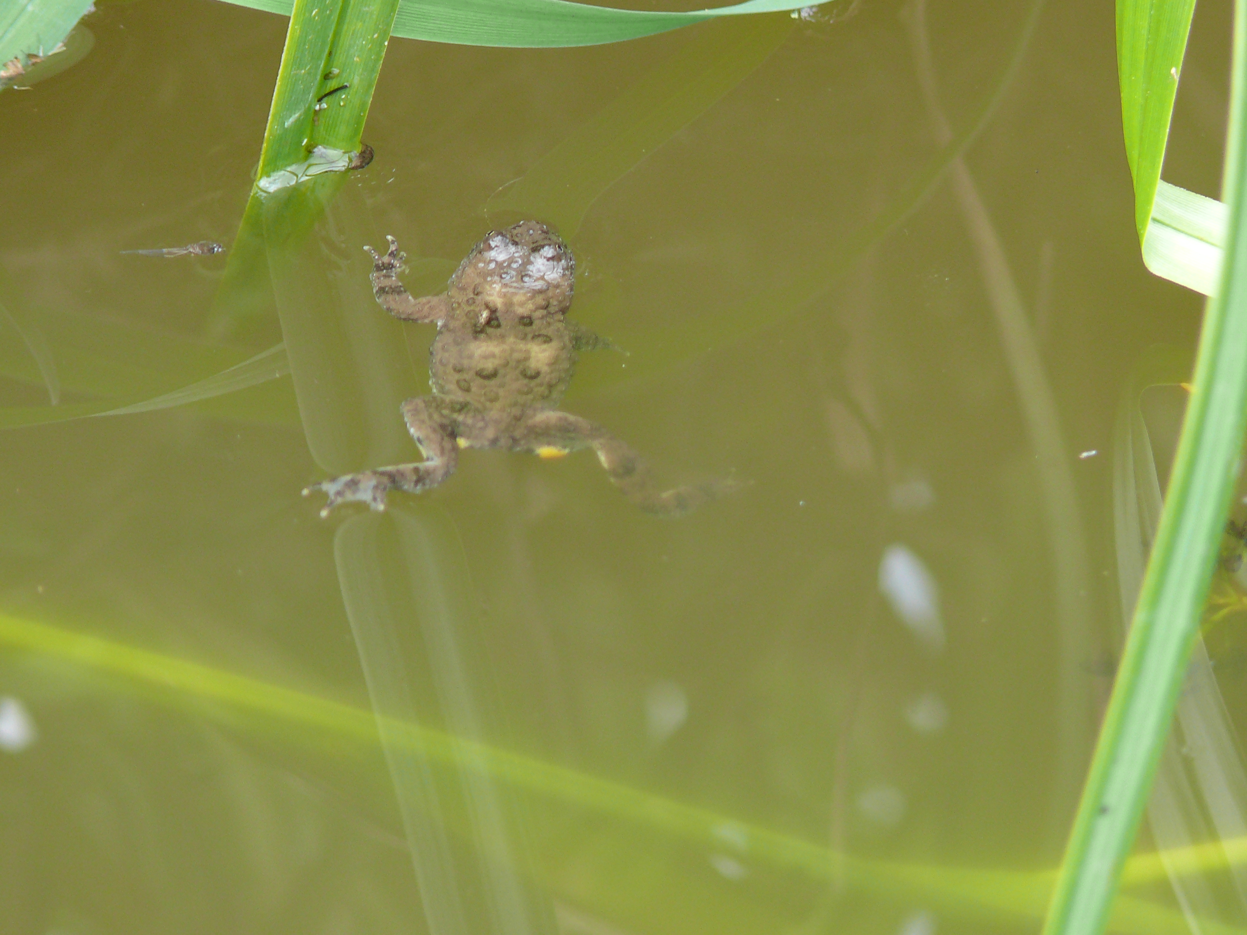 Gelbbauchunke im Wasserloch auf der Weide