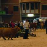 Im großen Ring der Hessenhalle werden die Tiere vorgeführt. Nicht nur das Aussehen entscheidet, auch das Gangbild.
