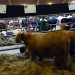 Blick über die Stallgassen: Rinder unterschiedlichster Rassen warten auf ihren Auftritt.