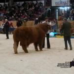 Phil von den Ruhrwiesen im Ring des Hessischen Fleischrindertages 2014